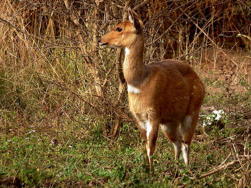 Marloth Park: Bushbuck Female