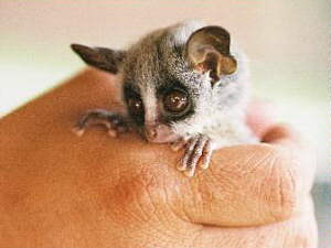 Marloth Park: Bush Baby